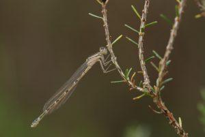 Agrion porte-coupe (Enallagma cyathigerum) -  [Critères : dessin en ogive, lame vulvaire saillante] -  Réserve Naturelle du Pinail