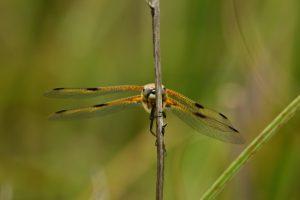 Libellule à quatre taches (Libellula quadrimaculata) -  Réserve Naturelle du Pinail