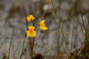 L'Utriculaires citrine (Utricularia australis)<br> Réserve Naturelle Nationale du Pinail
