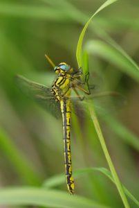 Gomphe semblable (Gomphus simillimis) -  [Critères : bande jaune sur tibias, bandes thoraciques noires et jaunes égales, bandes noires non jointes dorsalement] -  Réserve Naturelle du Pinail