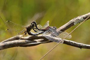 Accouplement de Leucorrhines à gros thorax (Leucorrhinia pectoralis) -  Réserve Naturelle du Pinail