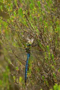Anax empereur (Anax imperator) dévorant une autre libellule -  Réserve Naturelle du Pinail