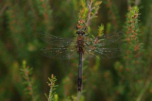 La Cordulie bronzée (Cordulia aenea) -  Réserve Naturelle du Pinail