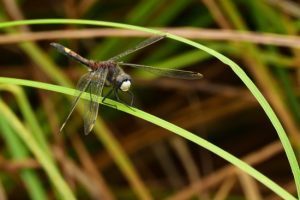 La Leucorrhine à gros thorax (Leucorrhinia pectoralis) -  Réserve Naturelle du Pinail