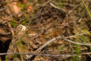 Crocothémis écarlate femelle (Crocothemis erythraea)<br> Réserve Naturelle du Pinail