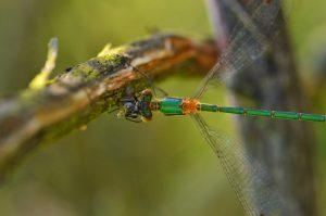 Leste dévorant une proie<br> Réserve Naturelle du Pinail