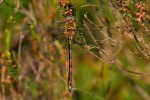 L'Oxycordulie à corps fin (Oxygastra curtisii)<br> Réserve Naturelle du Pinail