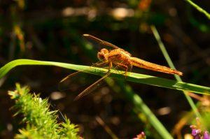 Crocothémis écarlate mâle immature (Crocothemis erythraea)<br> Réserve Naturelle du Pinail