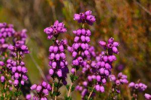 La Bruyère cendrée (Erica cinerea)<br> Réserve Naturelle Nationale du Pinail