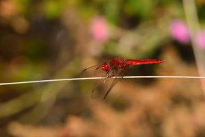 Crocothémis écarlate mâle (Crocothemis erythraea)<br> Réserve Naturelle du Pinail