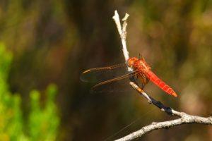 Le Sympétrum à nervures rouges (Sympetrum fonscolombii)<br> Réserve Naturelle du Pinail