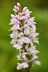 L'Orchis tacheté (Dactylorhiza maculata)<br> Réserve Naturelle Nationale du Pinail