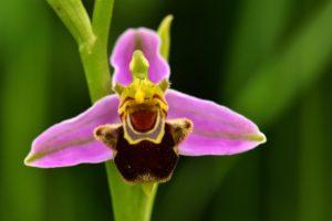 L'Ophrys abeille (Ophrys apifera)<br> Réserve Naturelle du Pinail