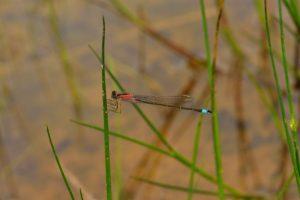 Ischnure élégante femelle de type C (Ischnura elegans)<br> Réserve Naturelle du Pinail