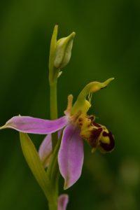 L'Ophrys abeille (Ophrys apifera)<br> Réserve Naturelle Nationale du Pinail