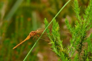 L'Orthétrum bleuissant (Orthetrum coerulescens)<br> Réserve Naturelle du Pinail