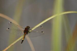 La Leucorrhine à gros thorax (Leucorrhinia pectoralis)<br> Réserve Naturelle du Pinail