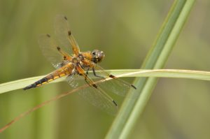 La libellule à quatre taches (Libellula quadrimaculata)<br> Réserve Naturelle du Pinail