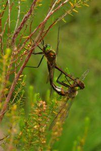 Accouplement de Cordulies bronzées (Cordulia aenea)<br> Réserve Naturelle du Pinail