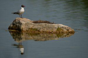 La Mouette rieuse (Chroicocephalus ridibundus) avec son plumage nuptial<br> Parc Naturel du Pâtis