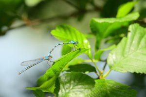Agrion porte-coupe (Enallagma cyathigerum)<br> Parc Naturel du Pâtis