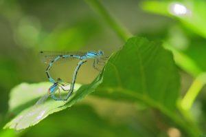 Accouplement d'Agrions porte-coupe (Enallagma cyathigerum)<br> Parc Naturel du Pâtis