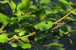 Libellule Naïade aux yeux rouges (Erythromma najas)<br> Parc Naturel du Pâtis