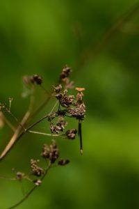 Le Pennipatte orangé femelle (Platycnemis acutipennis)<br> Parc Naturel du Pâtis