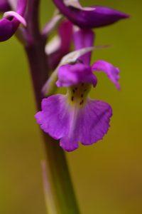 L'Orchis mâle (Orchis mascula)<br> La Pointe du Dourven<br> La Côte de granite rose