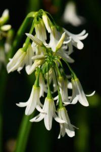 L'ail à trois angles ou ail triquètre (Allium triquetrum) est une espèce invasive<br> Le Sentier des douaniers<br> La Côte de granite rose