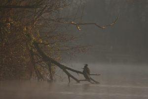 Le Grand Cormoran, ou Cormoran commun (Phalacrocorax carbo)<br> Réserve Naturelle Haff Réimech