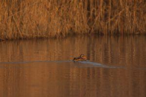 Le Canard colvert (Anas platyrhynchos)<br> Réserve Naturelle Haff Réimech