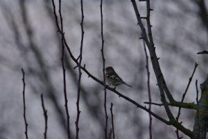 Le Pinson des arbres (Fringilla coelebs)<br> Réserve Naturelle Haff Réimech