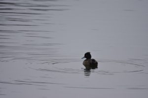 Le Fuligule morillon (Aythya fuligula)<br> Réserve Naturelle Haff Réimech
