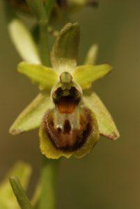 Orchidées Ophrys petite araignée (Ophrys araneola)<br> Les coteaux des Andélys