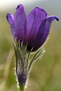 Anémone pulsatille (Pulsatilla vulgaris)<br> Les coteaux des Andélys