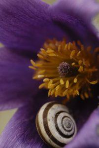 Escargot sur Anémone pulsatille (Pulsatilla vulgaris)