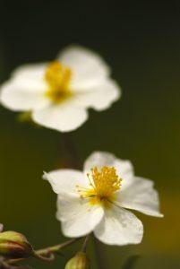 L'hélianthème des Apennins (Helianthemum apenninum)<br> Les coteaux des Andélys