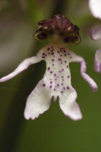 Orchis pourpre (Orchis purpurea)<br> Les coteaux des Andélys