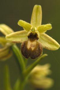 Ophrys petire araignée (Ophrys araneola)<br> Les coteaux des Andélys