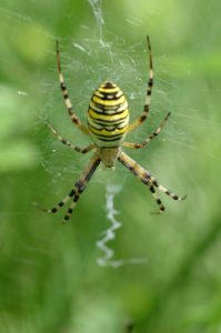 Araignée Argiope frelon (Argiope bruennichi)<br> Bord de Marne