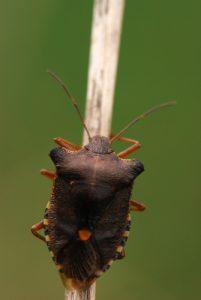 La punaise à pattes rousses/fauves (Pentatoma rufipes)
