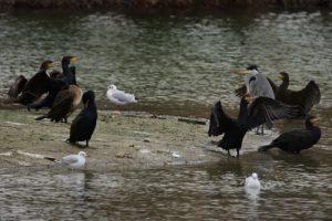 Le Grand Cormoran, ou Cormoran commun (Phalacrocorax carbo)<br>&amp; Le Héron cendré (Ardea cinerea)<br> Parc départemental de la Haute-Île