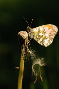 Le Papillon Aurore (Anthocharis cardamines)<br> Forêt de Ferrières