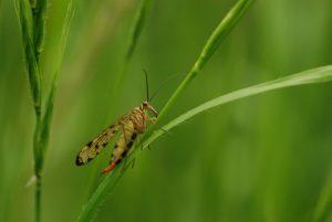 La mouche-scorpion ou Panorpe (Panorpa communis)<br> Forêt de Ferrières