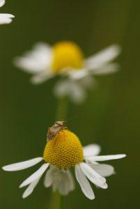 Petit Miridé de la famille des Lygus (Lygus sp.)<br> Forêt de Ferrières