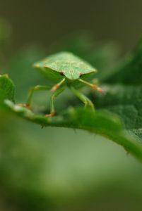 La punaise verte (Palomena prasina)<br> Forêt de Ferrières
