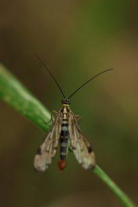 La mouche-scorpion Panorpe (Panorpa communis)<br> Forêt de Ferrières
