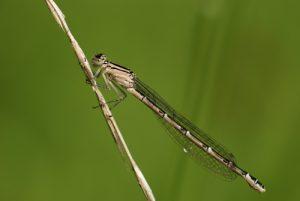 Agrion porte-coupe femelle (Enallagma cyathigerum )<br> Forêt de Ferrières