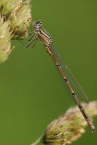 Ischnure élégante femelle immature type B (Ischnura elegans)<br> Forêt de Ferrières